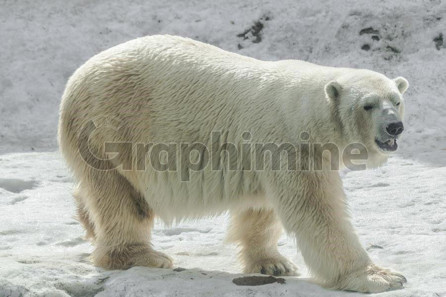 تصویر استوک خرس قطبی